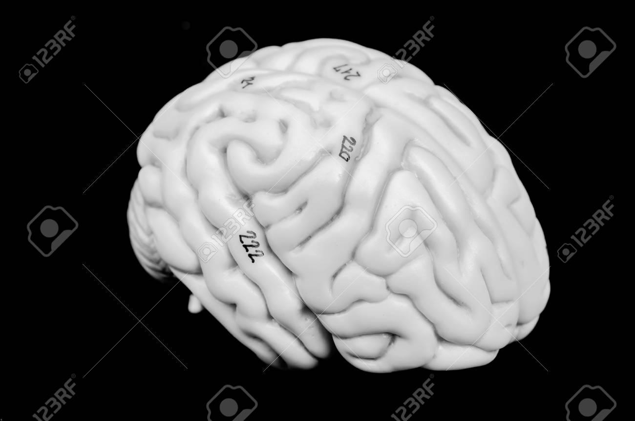 Excelente Anatomía Del Cerebro Humano Adorno - Imágenes de Anatomía ...