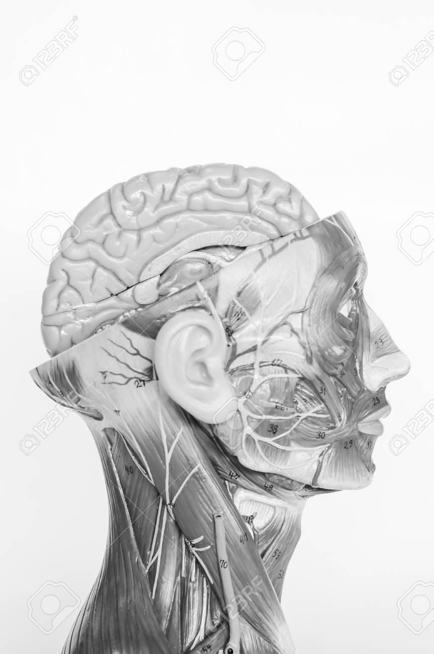 Anatomie Des Menschlichen Muskelmodells Mit Schwarz-Weiß-Farbe ...