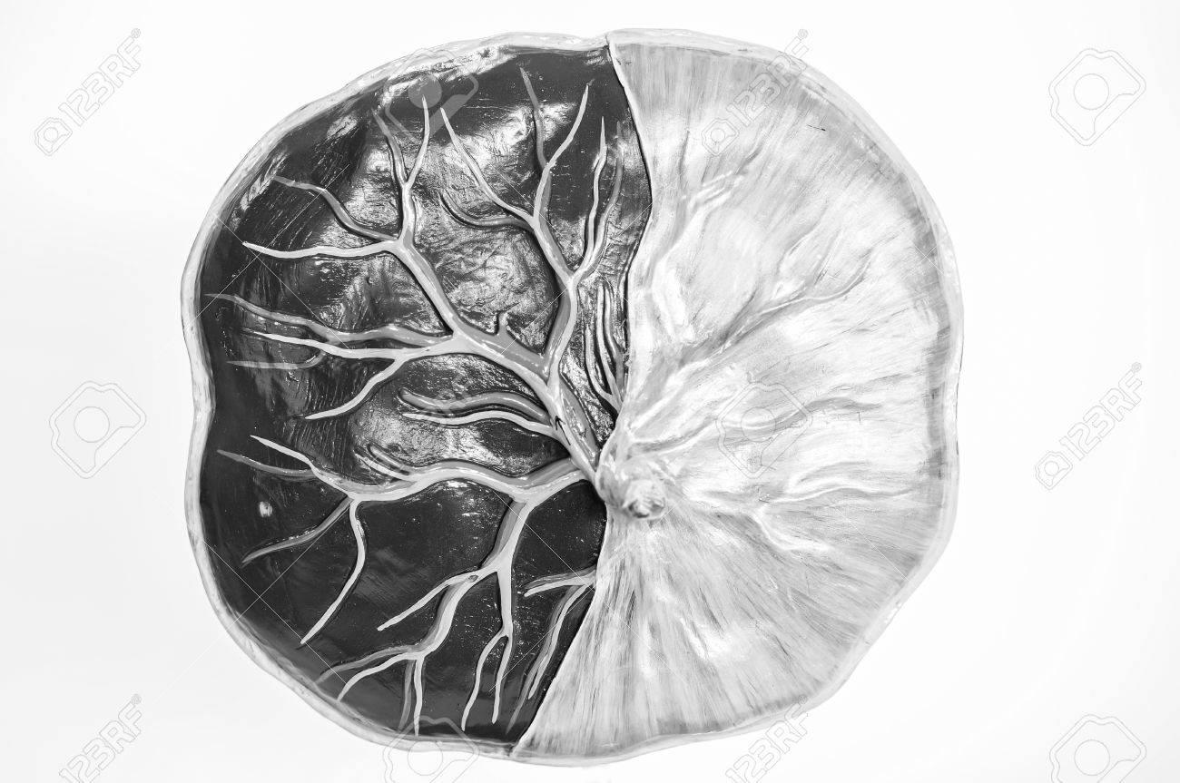 Zelle Des Fötus Menschlichen Modell Anatomie Mit Schwarz-weißen ...