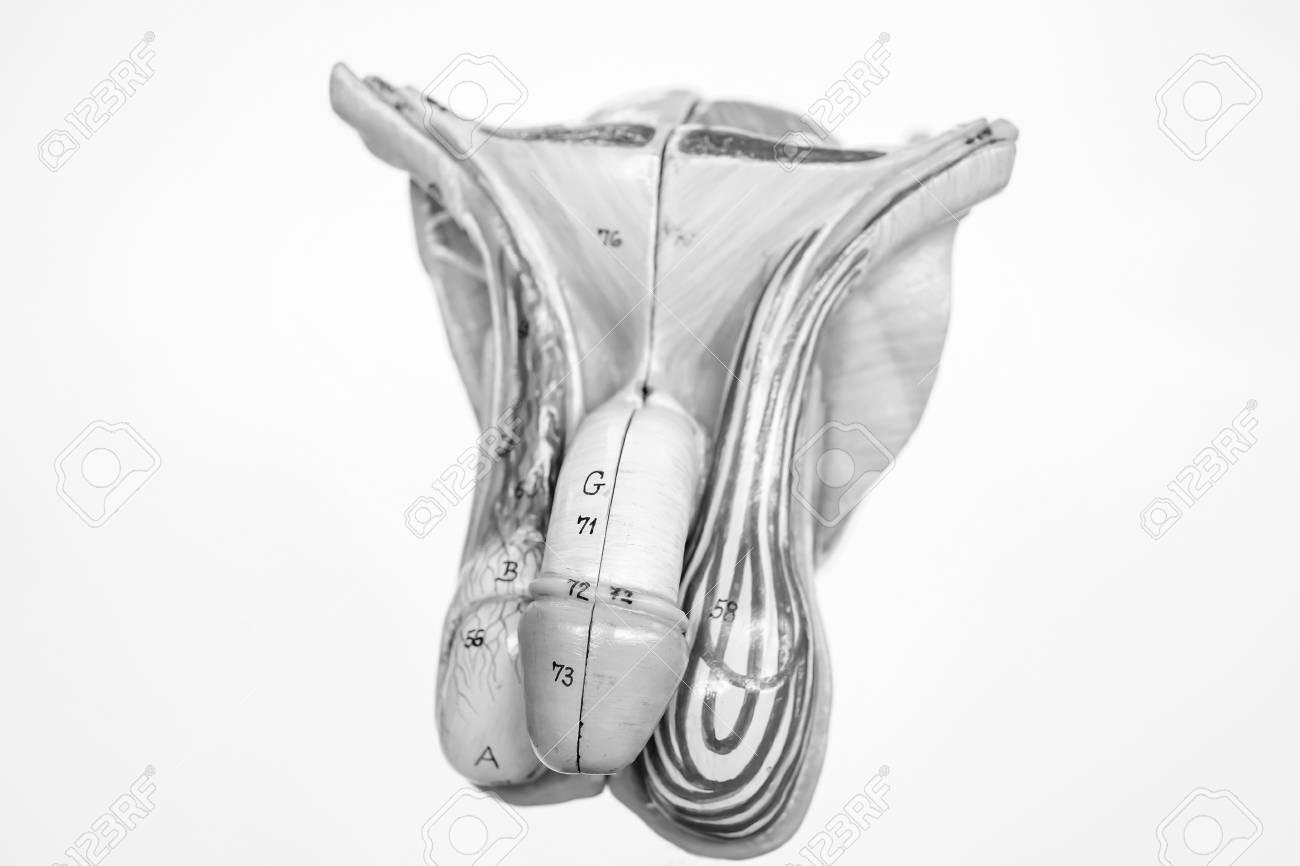 Anatomía Del Pene Con El Concepto De Color Blanco Y Negro Fotos ...