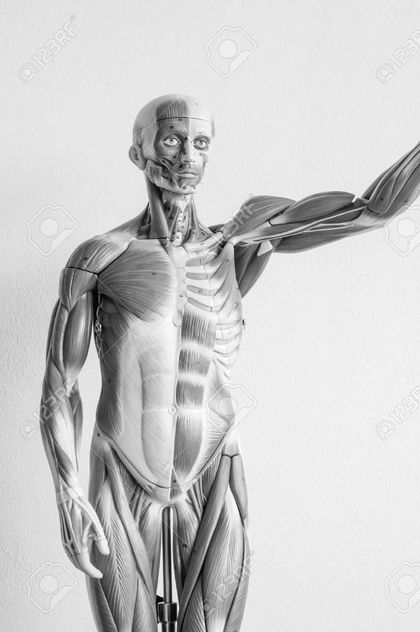 Muskel Des Menschlichen Anatomie-Modells Mit Schwarz-Weiß-Farbe ...