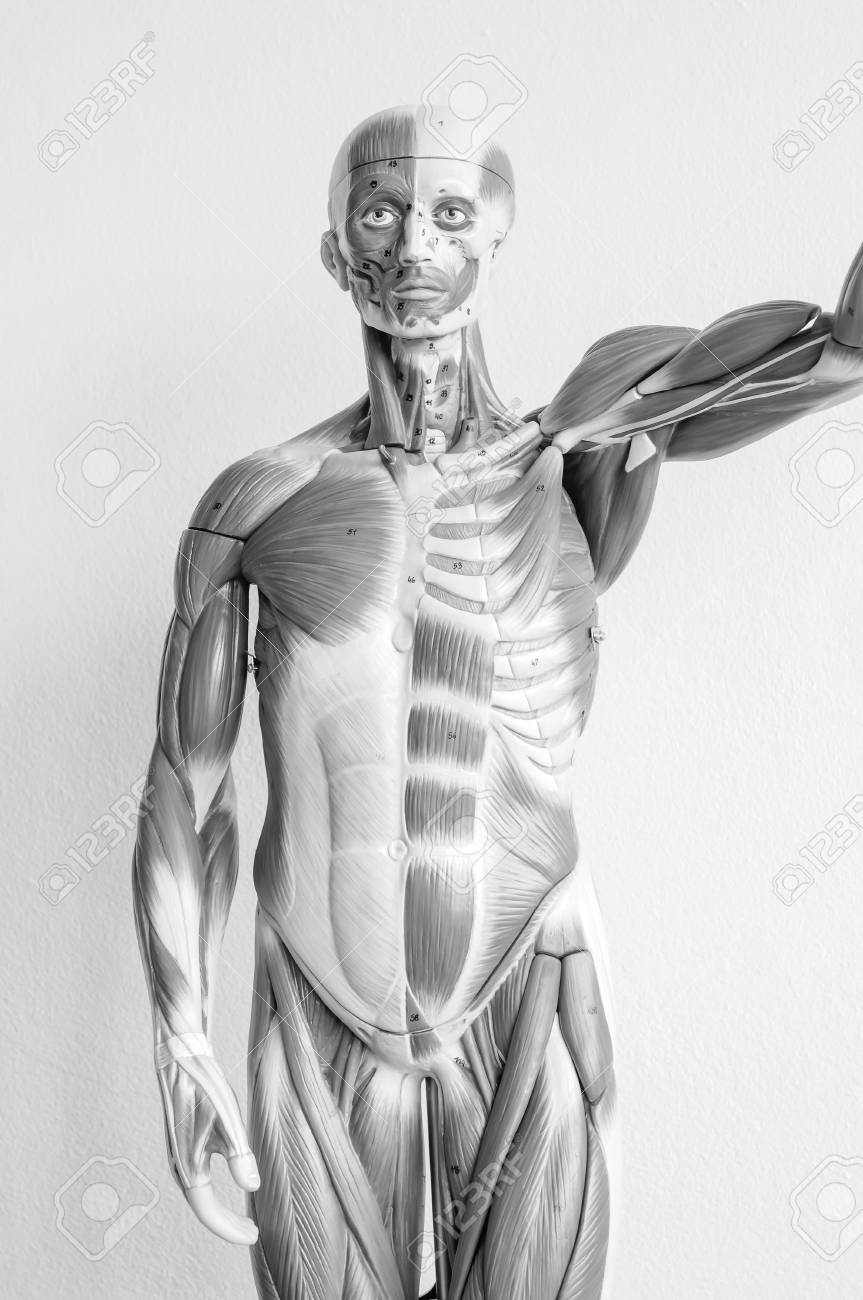 Muscle Of Human Anatomy Model With Black And White Color Stock Photo