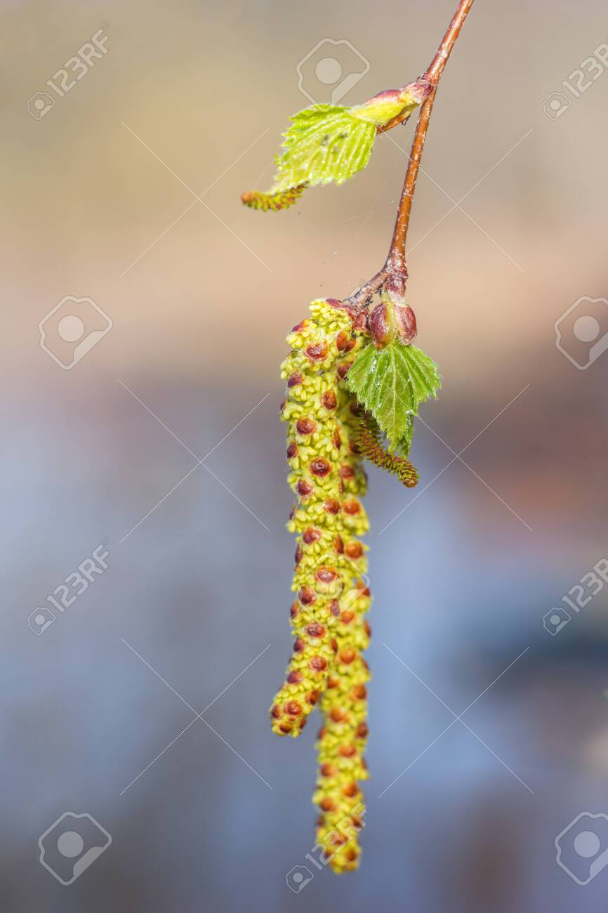 Birch earring and fresh leaves in spring - 143678555
