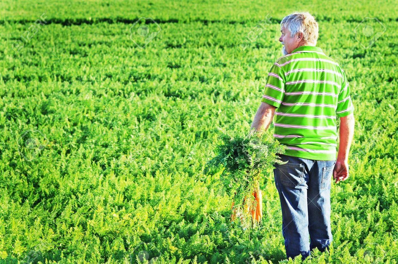 Freshly Picked Carrots Basket Carrot Field Stock Photo 62199169 ...