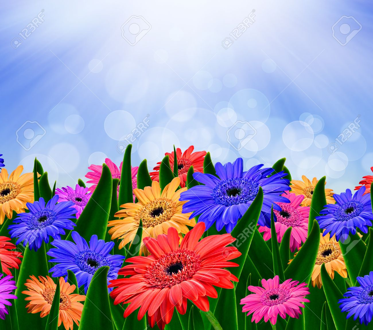 colorful daisy gerbera flowers in a field spring background