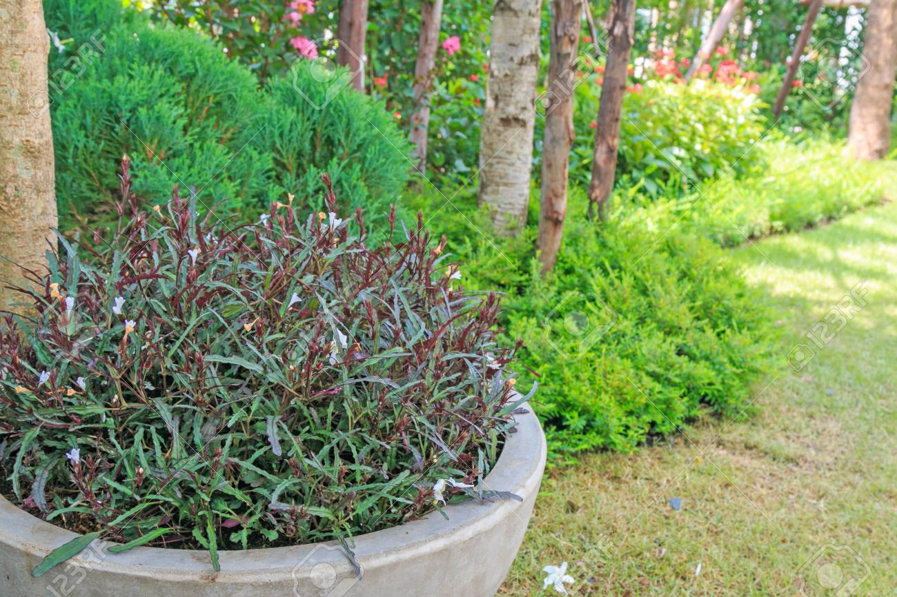 Dragon S Tongue Plant In A Pot In A Home Garden Stock Photo Picture And Royalty Free Image Image 79876877