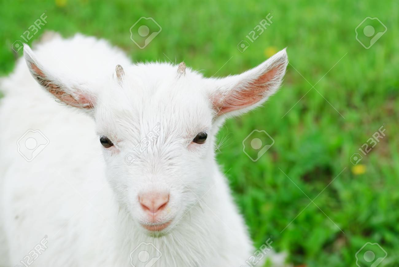 Curious white goatling stands on a green meadow Stock Photo - 4887257