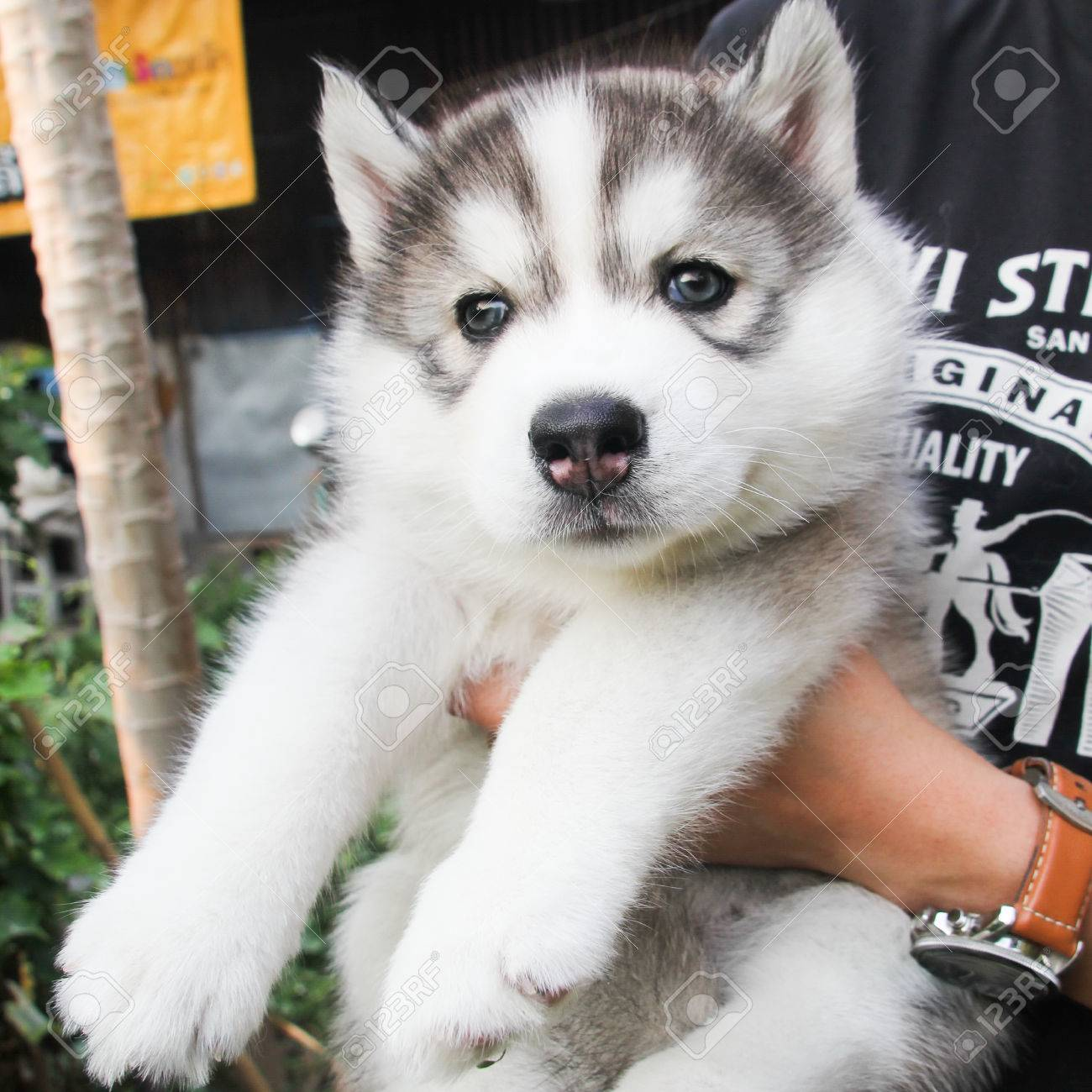 Cute Fluffy Siberian Husky Puppy Stock Photo Picture And Royalty