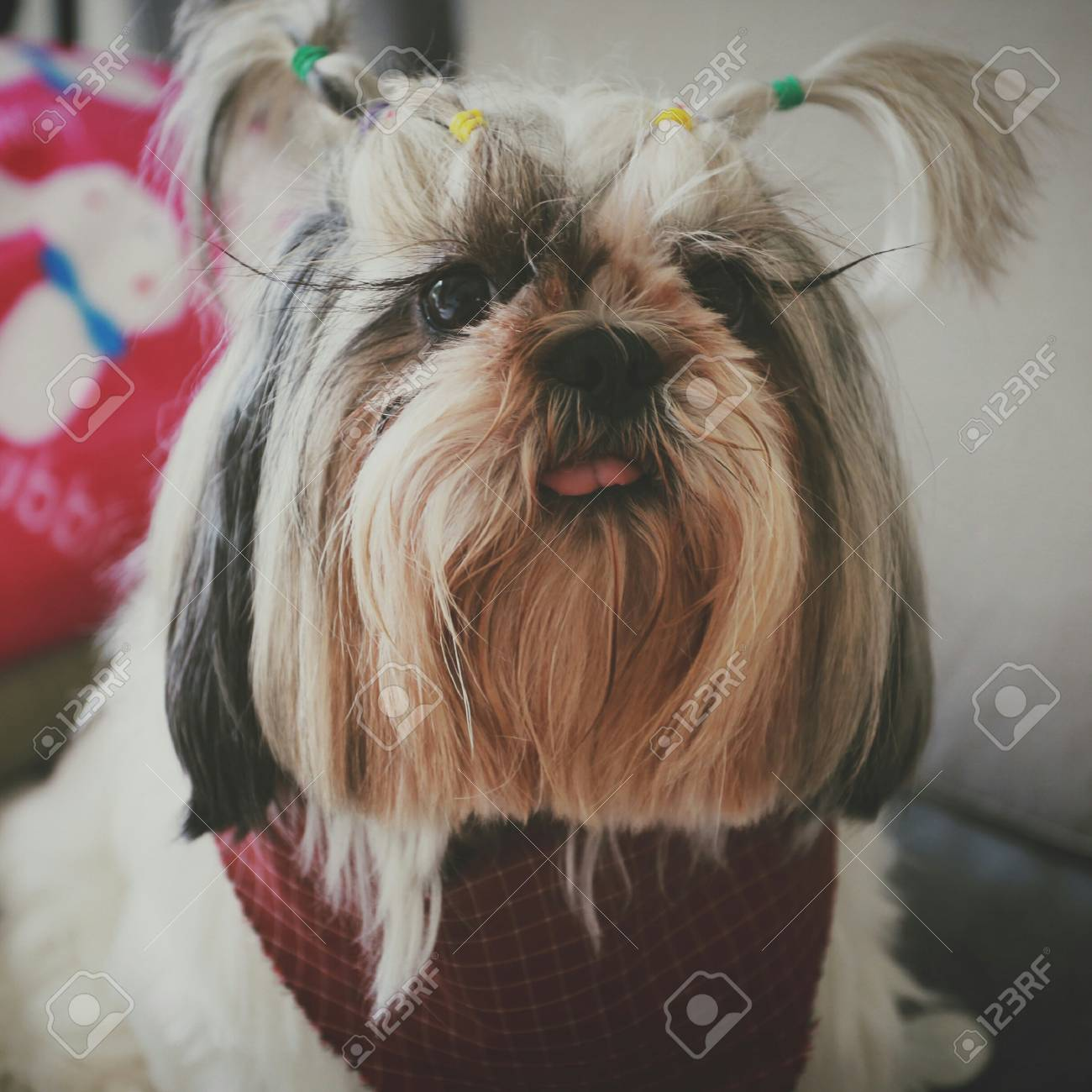 Lovely Little Shih Tzu Puppy Dog Wearing A Red Scarf Is Sitting Stock Photo Picture And Royalty Free Image Image 115234487