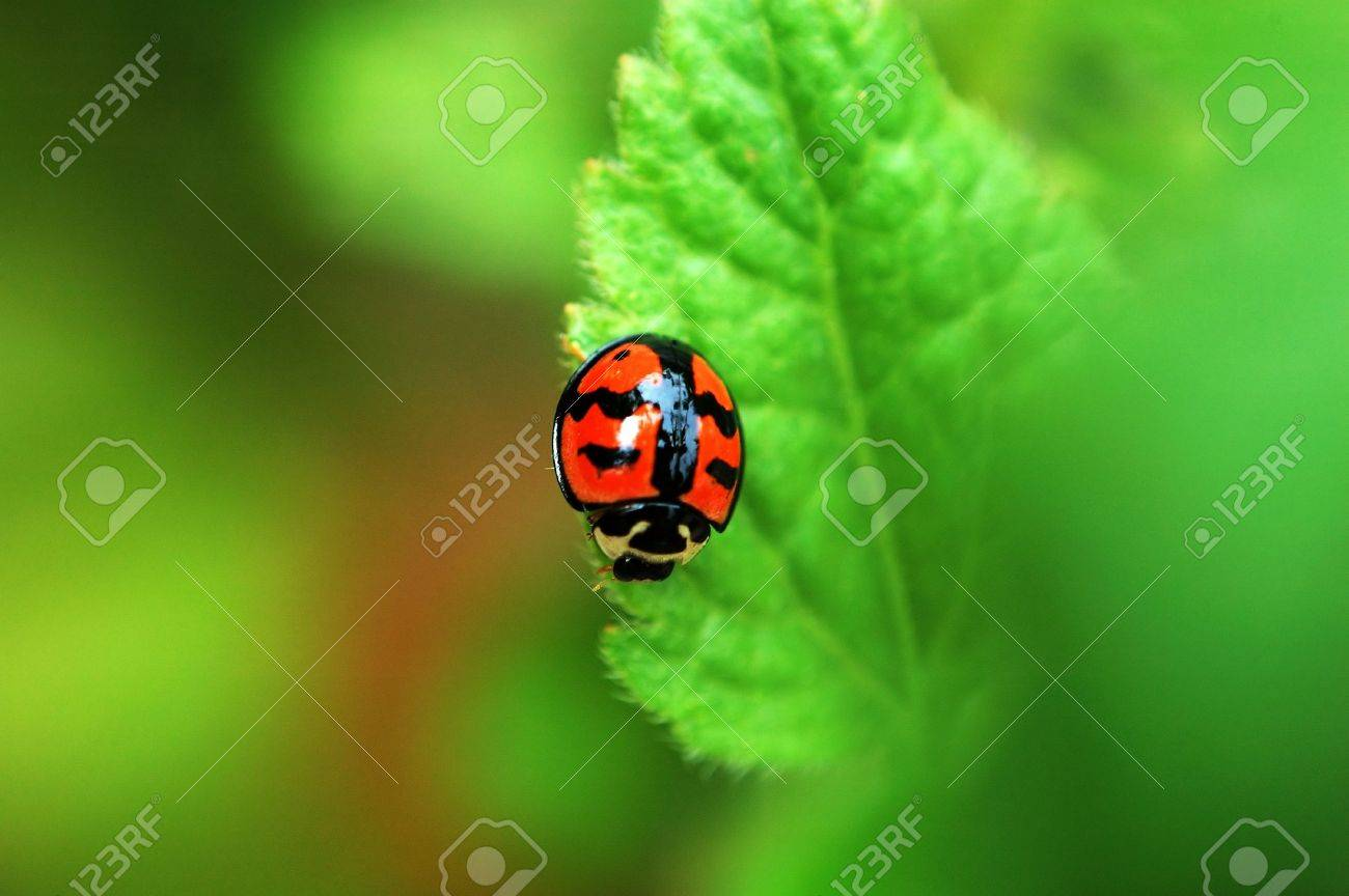 A Small ladybird resting on a leaf Stock Photo - 647194