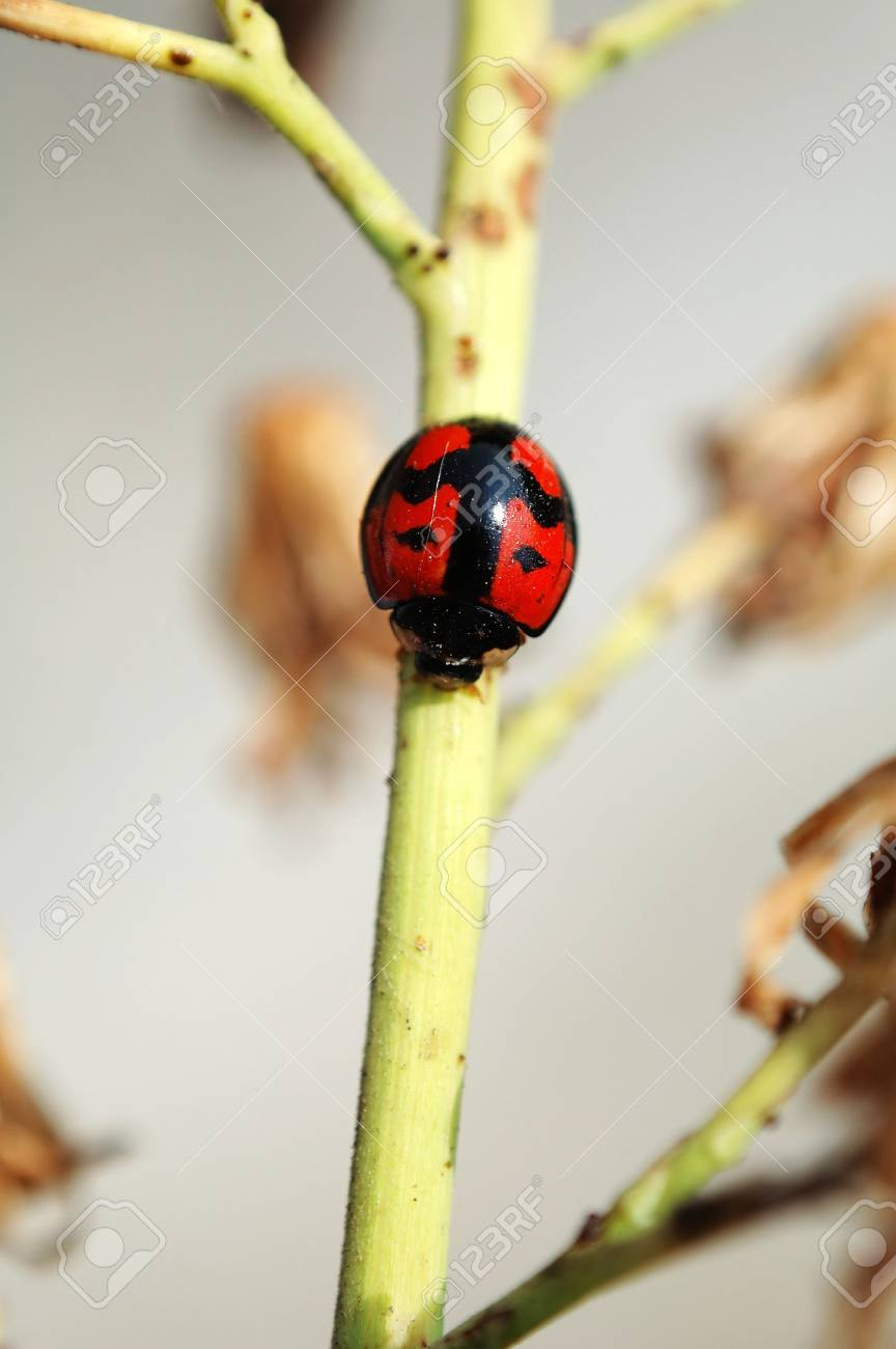 A ladybird walking along a yellow stem Stock Photo - 647188