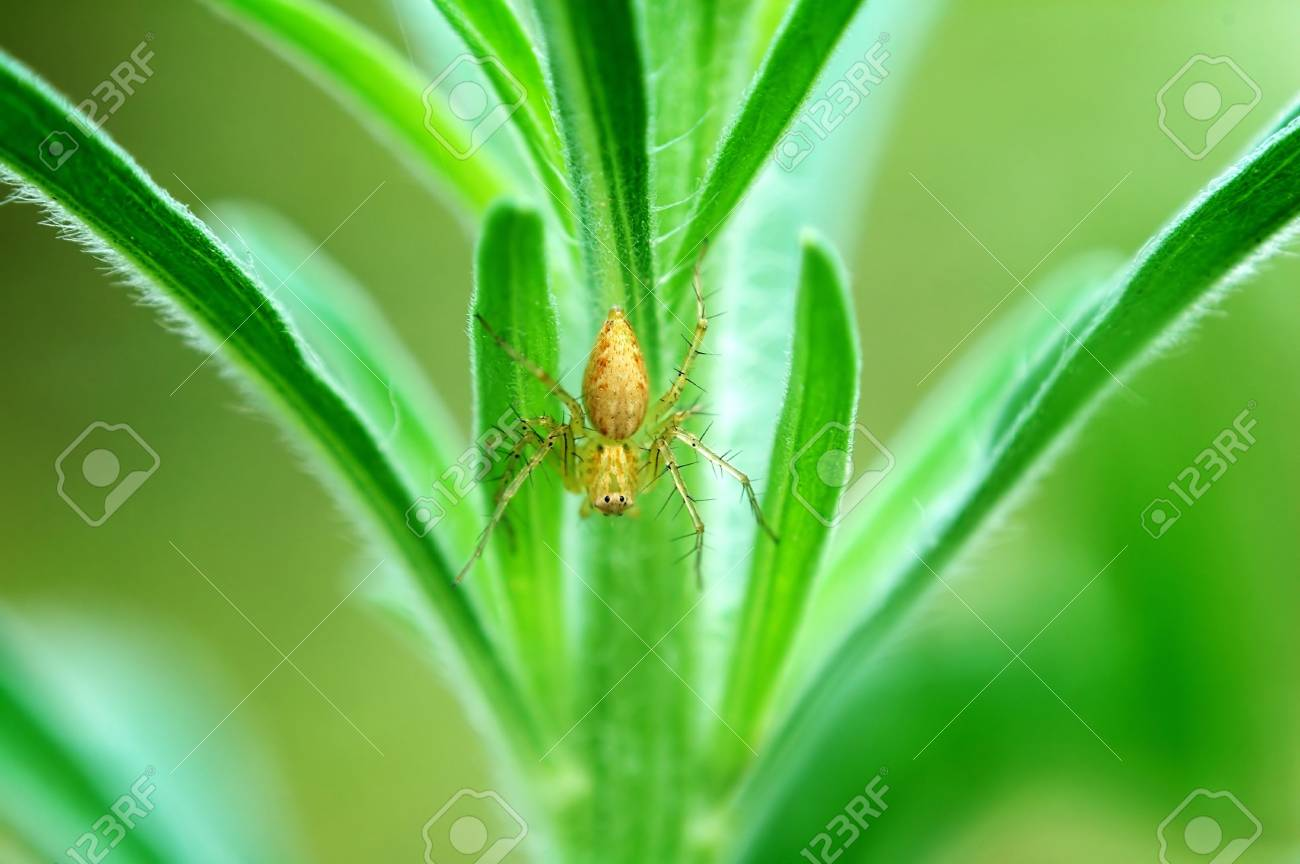 A lynx spider staying on a plant Stock Photo - 837725