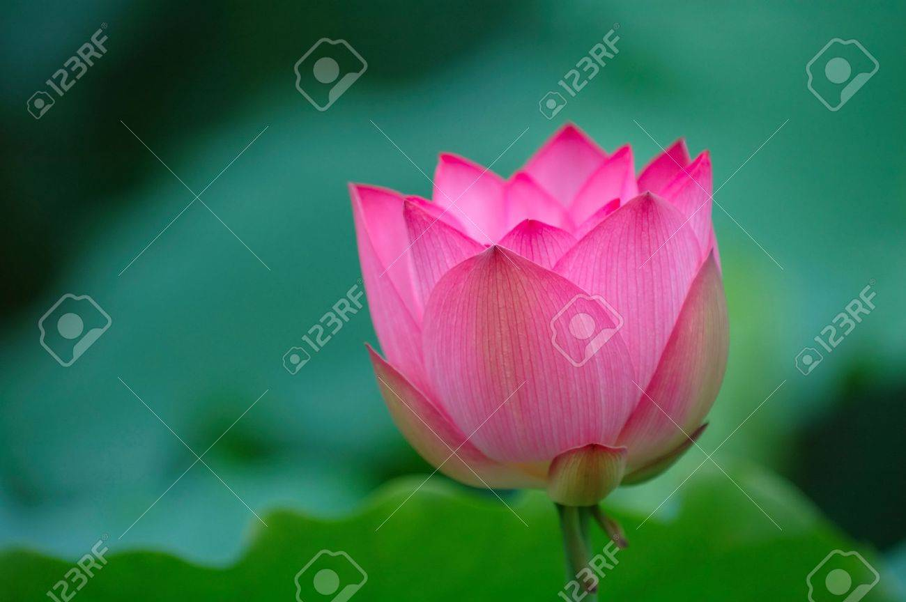 A blooming lotus flower with sharp pink color stock photo picture a blooming lotus flower with sharp pink color stock photo 851964 dhlflorist Images