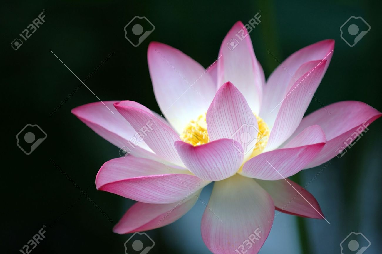 A Blooming Lotus Flower Of Pink Color Over Dark Background Stock