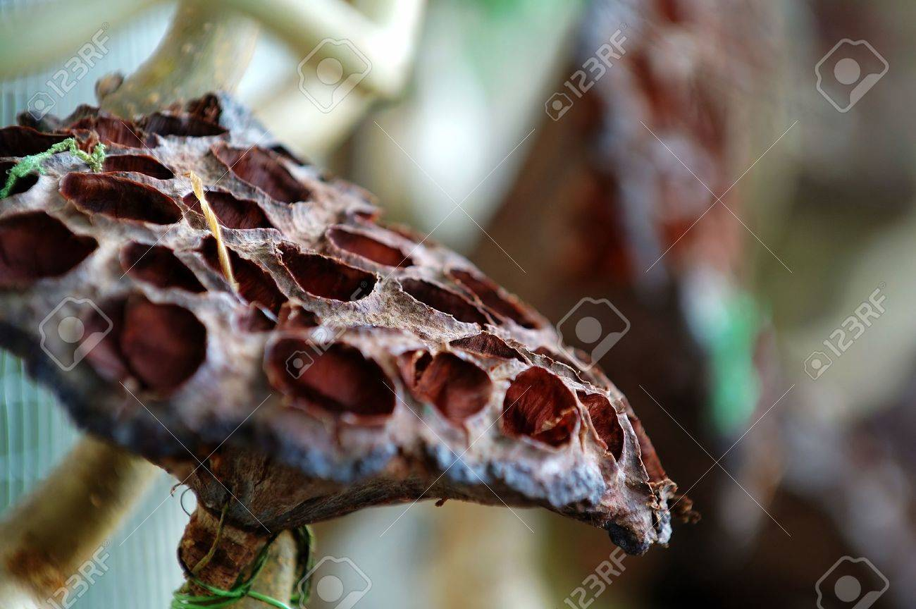 The close up of dried lotus seed head Stock Photo - 851976
