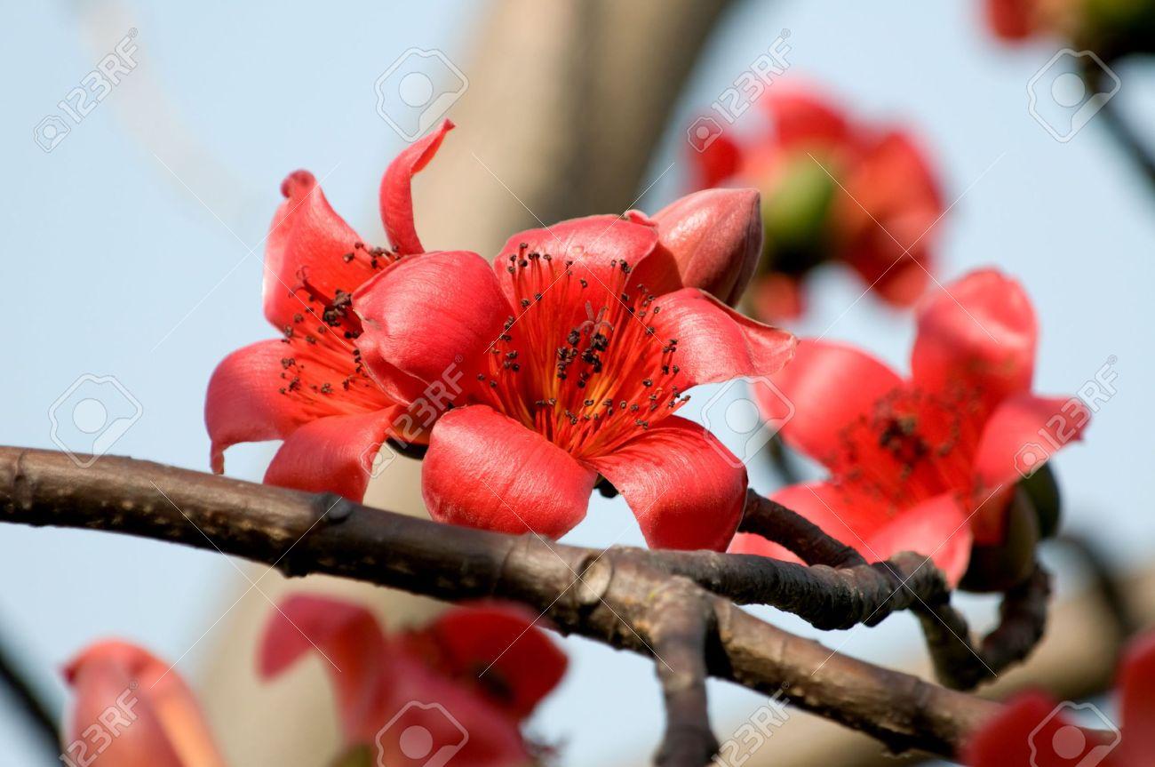 The flowers of ceiba tree, crimson kapok flowers