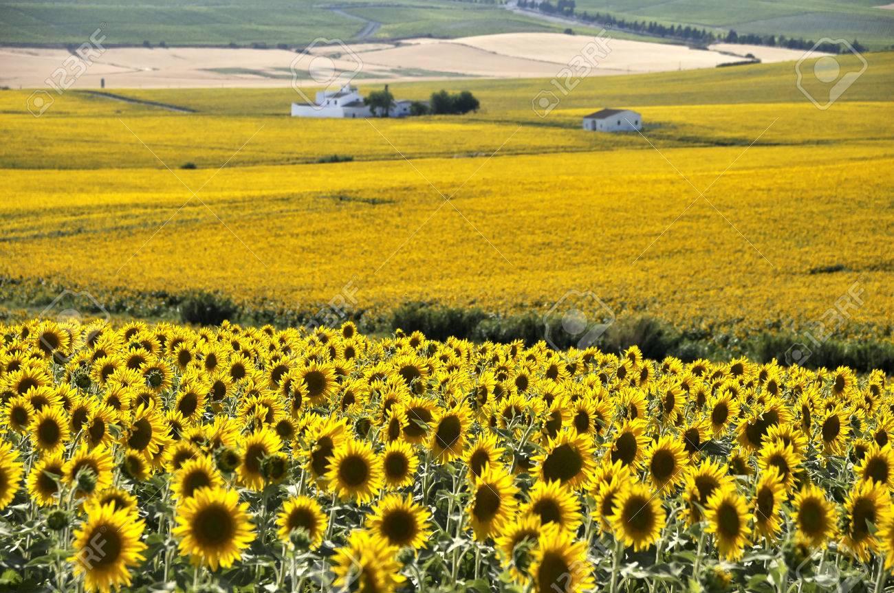 Fotografia Tematica Del Paesaggio Con Girasoli, Dove Si Può Vedere ...