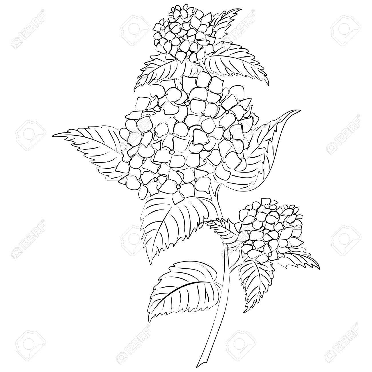 Illustration D Un Dessin A L Encre Fleur D Hortensia Clip Art Libres