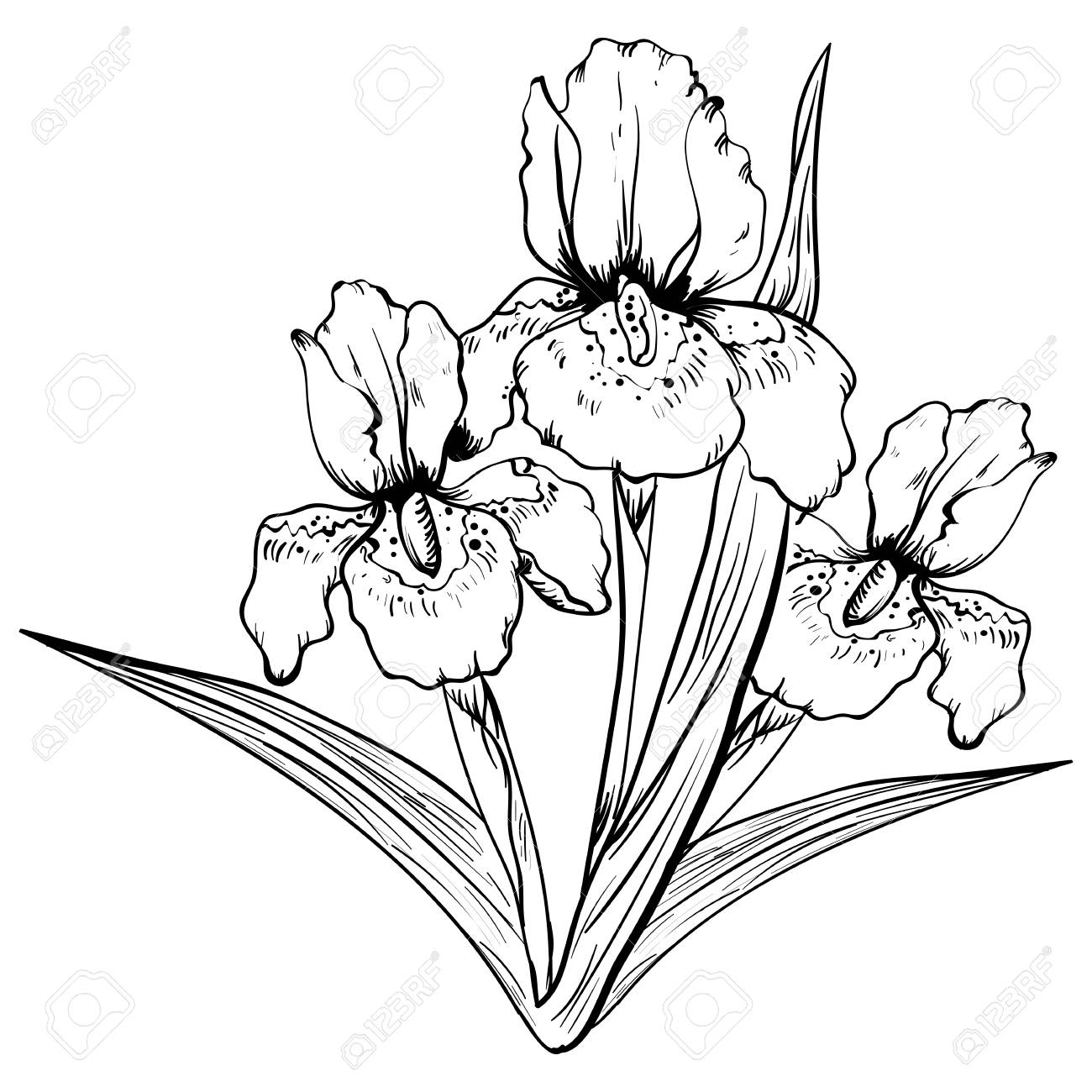 Hand Drawn Iris Flower Sketch Vector Illustration Sketch Isolated Royalty Free Cliparts Vectors And Stock Illustration Image 91370788