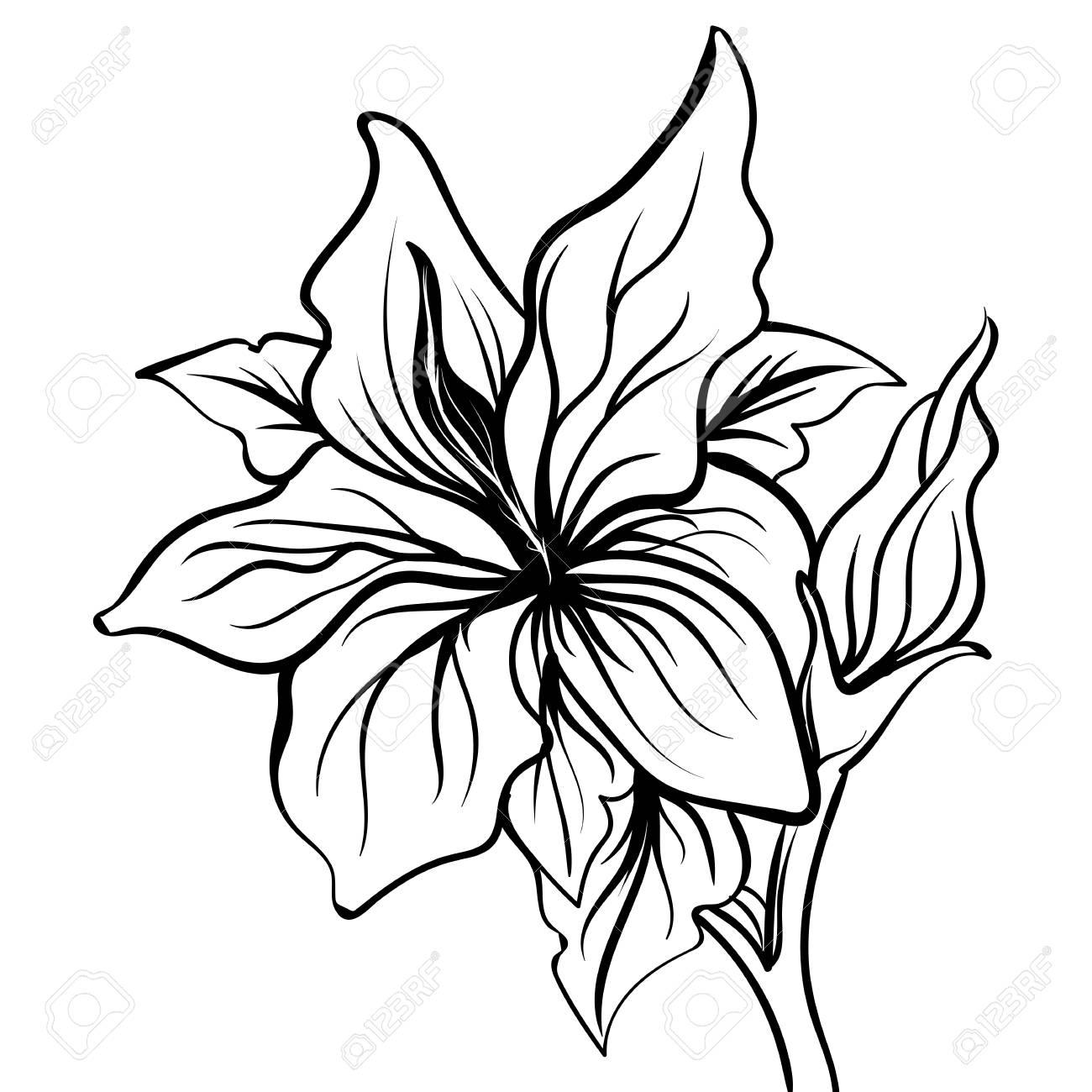 Dibujo Boceto Del Lirio De Una Flor De Lis Mano Dibujar La