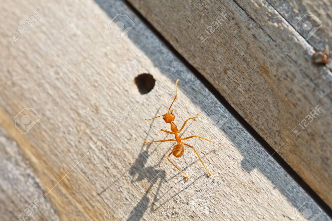 Ant are walking on wood Stock Photo - 13492170