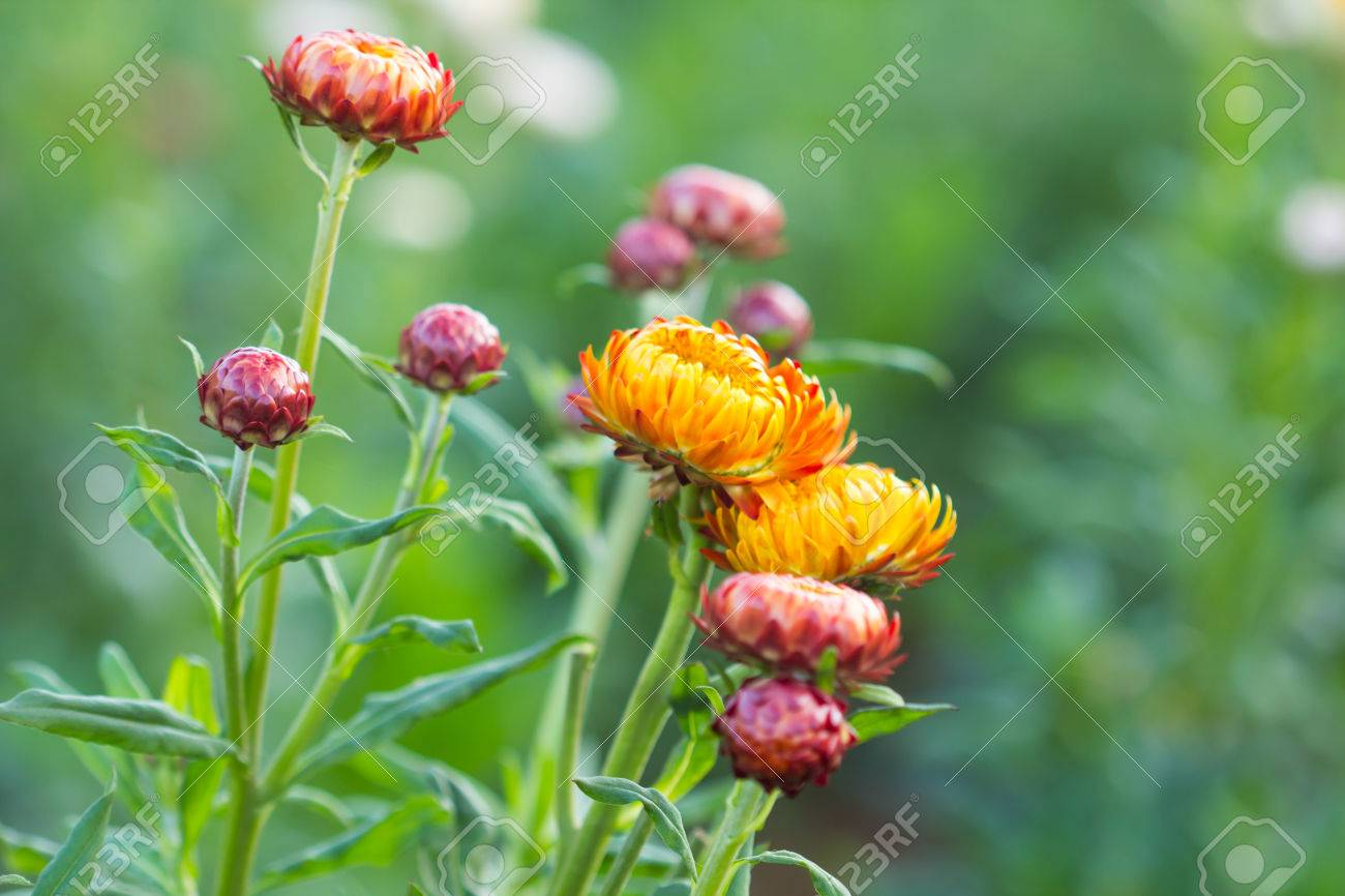 Dry straw flower or everlasting helichrysum bracteatum stock photo dry straw flower or everlasting helichrysum bracteatum stock photo 28998483 mightylinksfo
