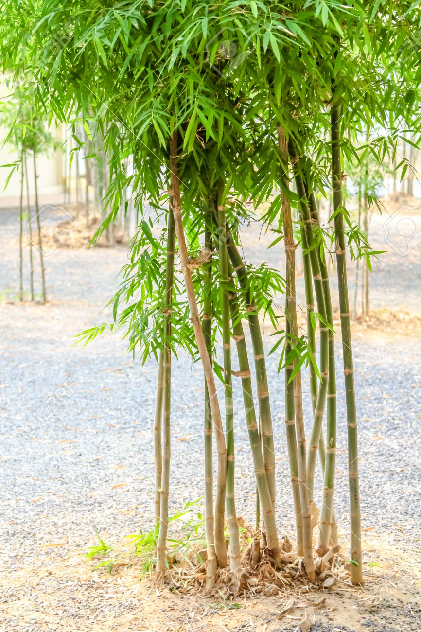 Small Bamboo Tree In The Tample Stock Photo Picture And Royalty