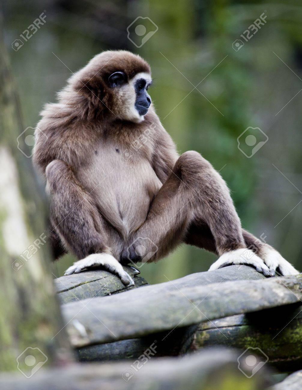lar gibbon  white-handed gibbon  is sitting Stock Photo - 12979119