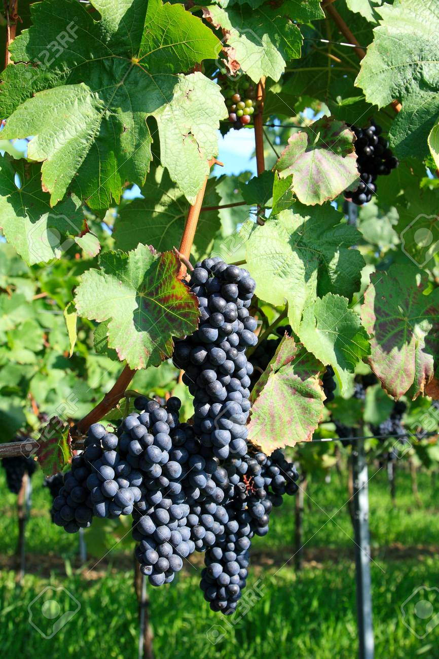 Grapes cluster hanging on a vineyard branch Stock Photo - 16778692