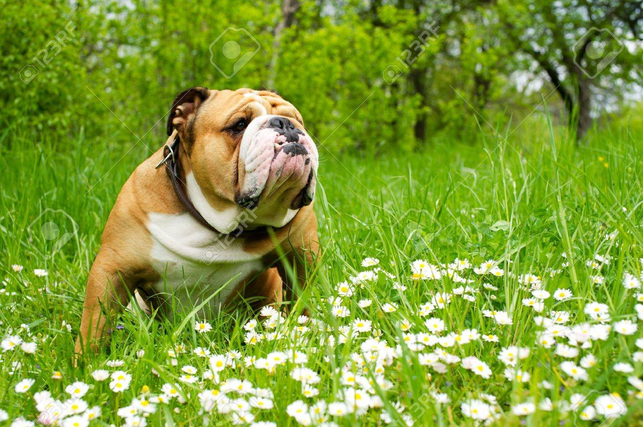 English Bulldog Stock Photo - 9619289
