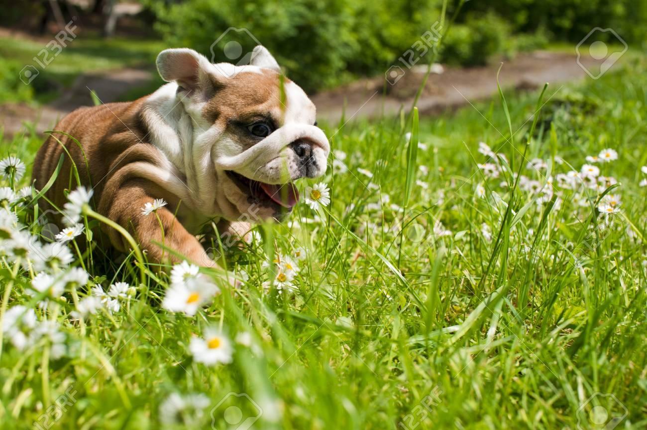English bulldog puppy Stock Photo - 9619274