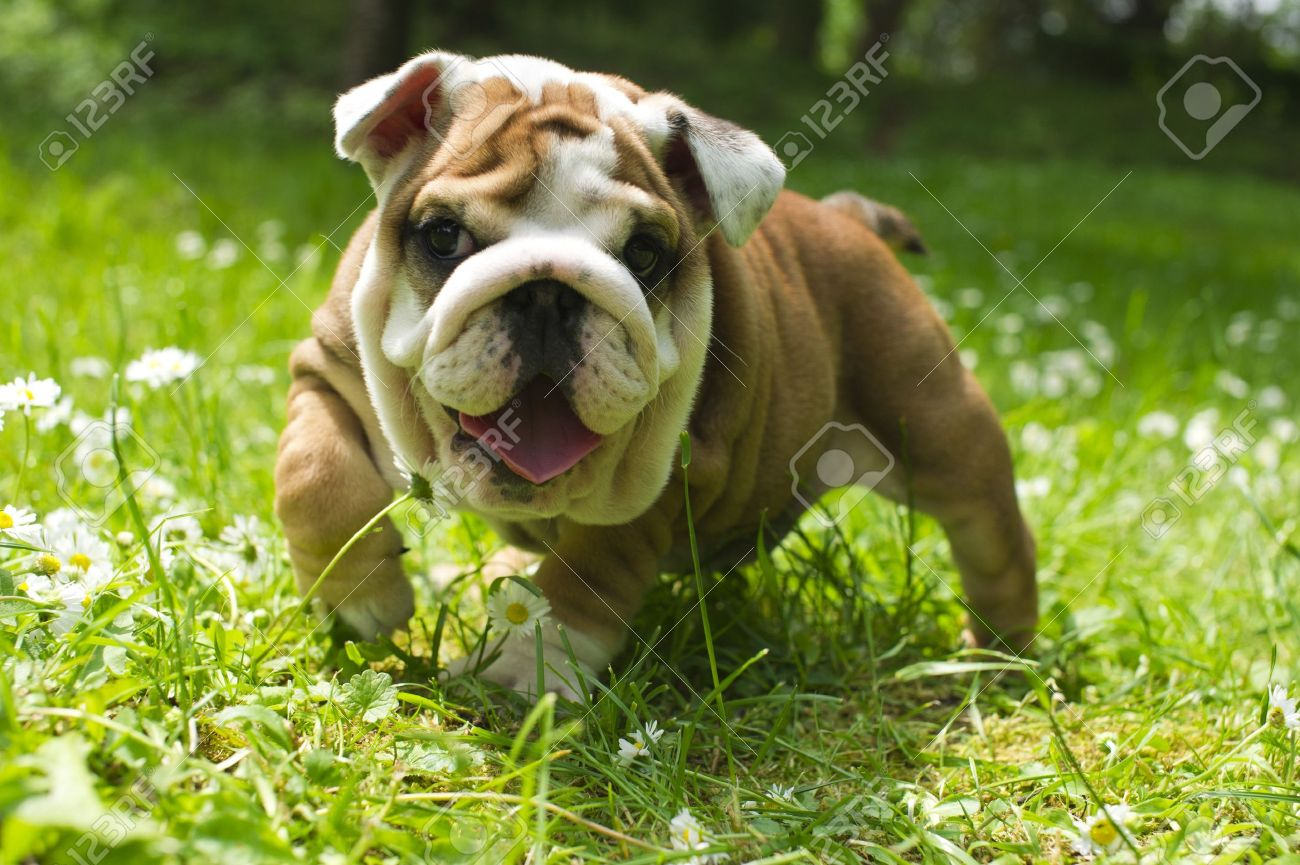 Cute Happy Bulldog Puppy Playing On Fresh Summer Grass Stock Photo Picture And Royalty Free Image Image 9619260