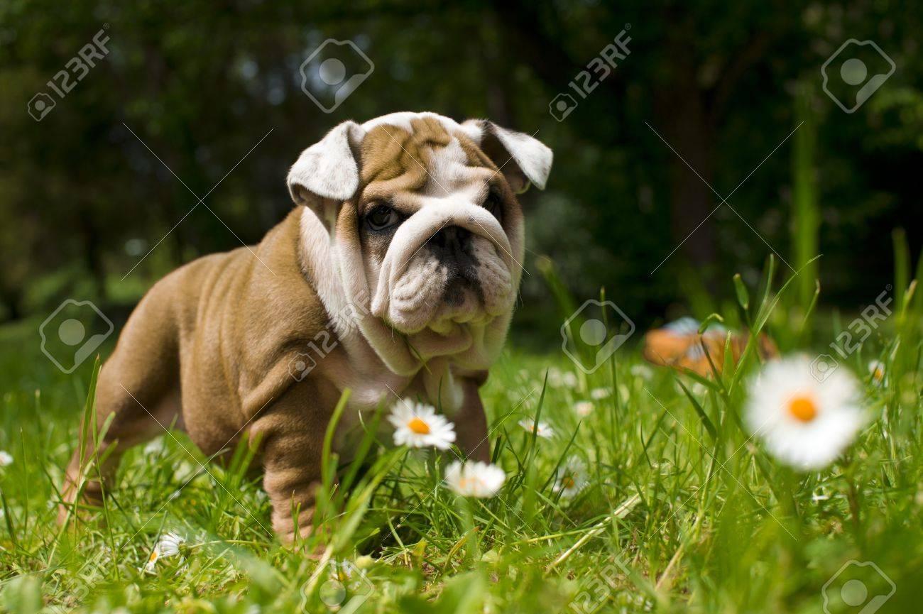 Cute happy bulldog puppy playing on fresh summer grass - 9619253