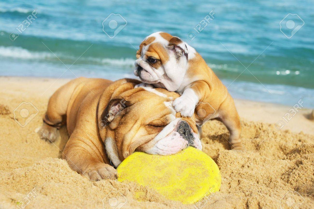 English Bulldog and a puppy playing on the beach with a freezbie Stock Photo - 9709595