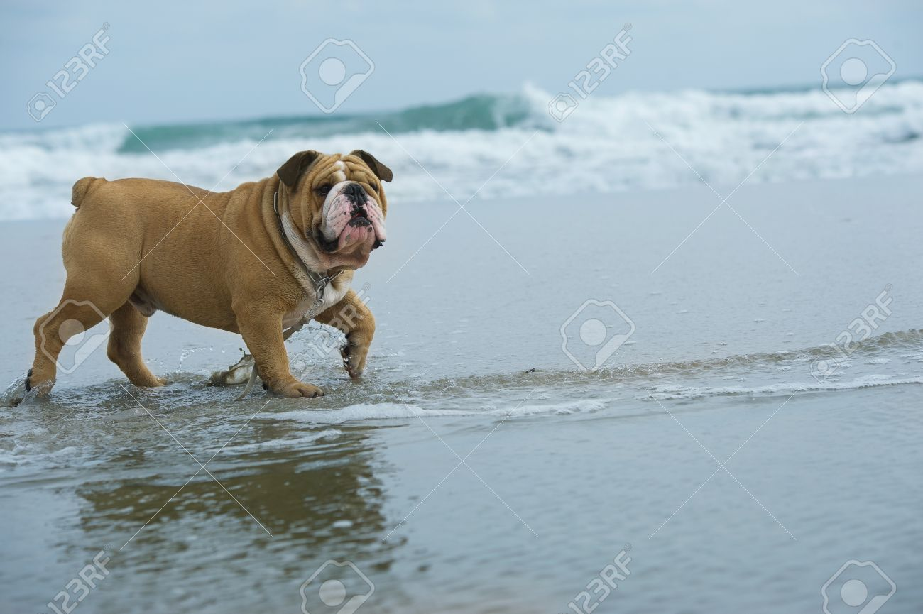 Happy dog Bulldog running at the sea - 10713101