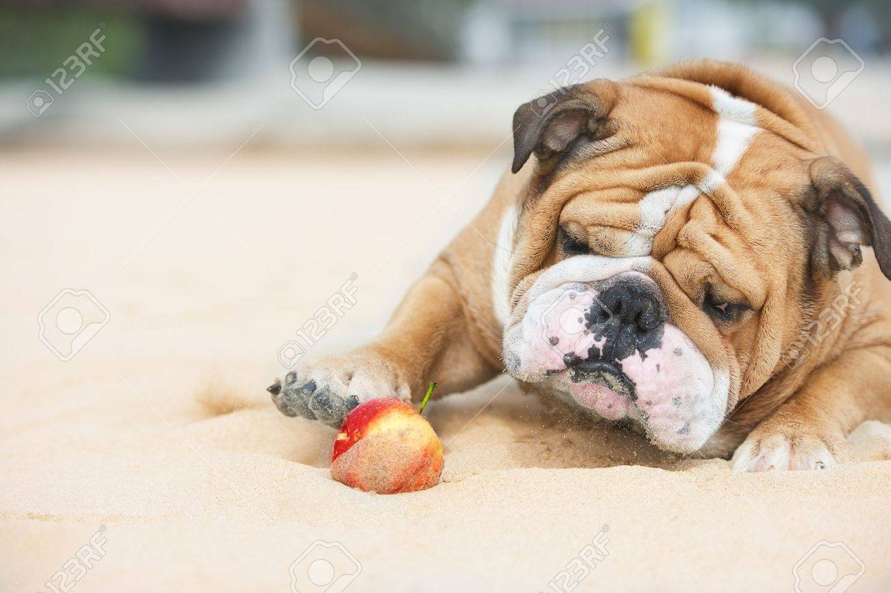 Happy dog Bulldog playing with apple Stock Photo - 10713098