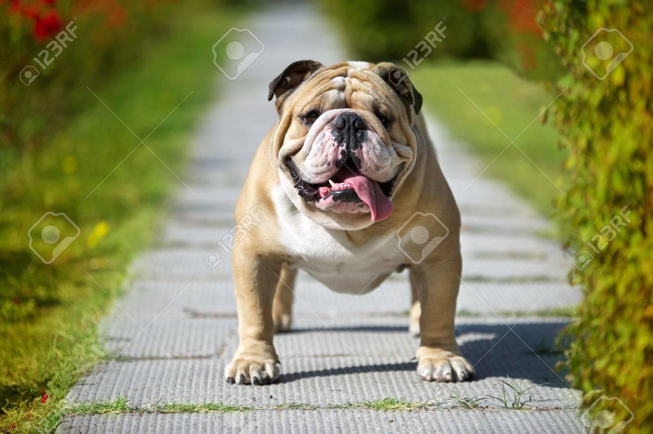 English bulldog on green grass field Stock Photo - 10877583