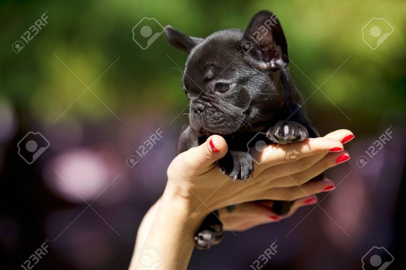 French bulldog puppy 50 days old Stock Photo - 10877595