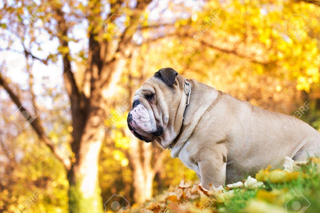 Cute Bulldog in a park in autumn - 11133003