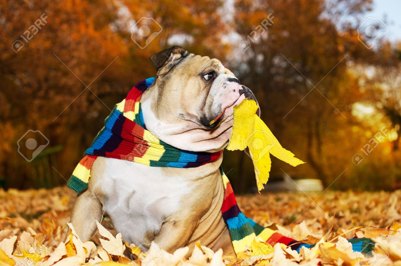 Bulldog in a scarf in autumn Stock Photo - 11133007