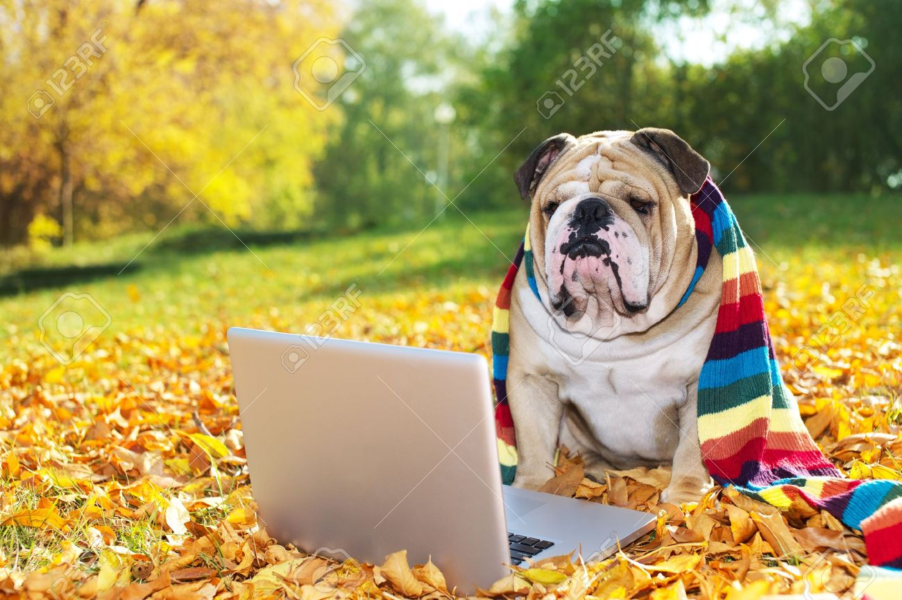 Bulldog with a computer in autumn leaves Stock Photo - 11133012