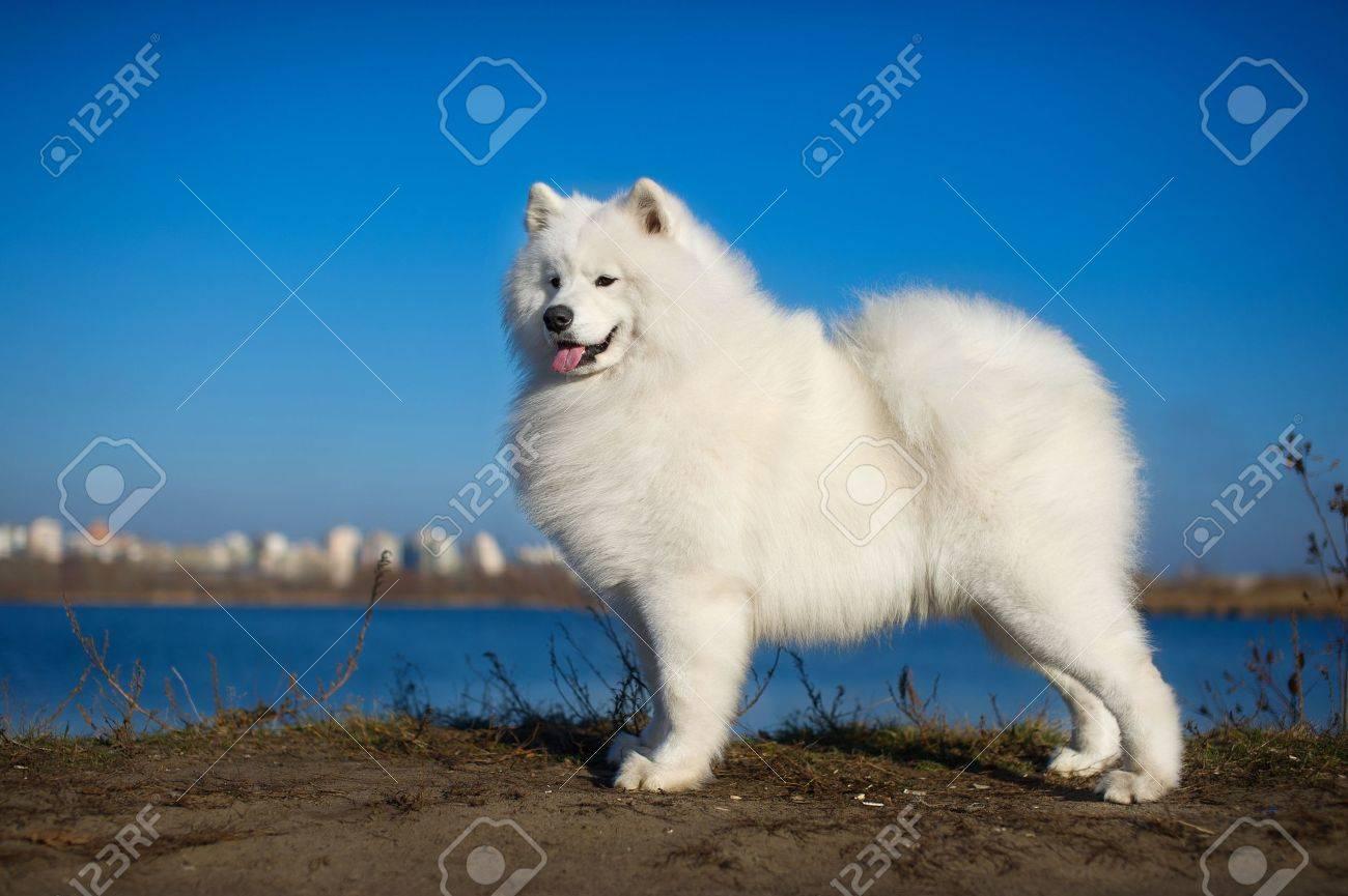 Beautiful samoyed dog puppy portrait - 11752941
