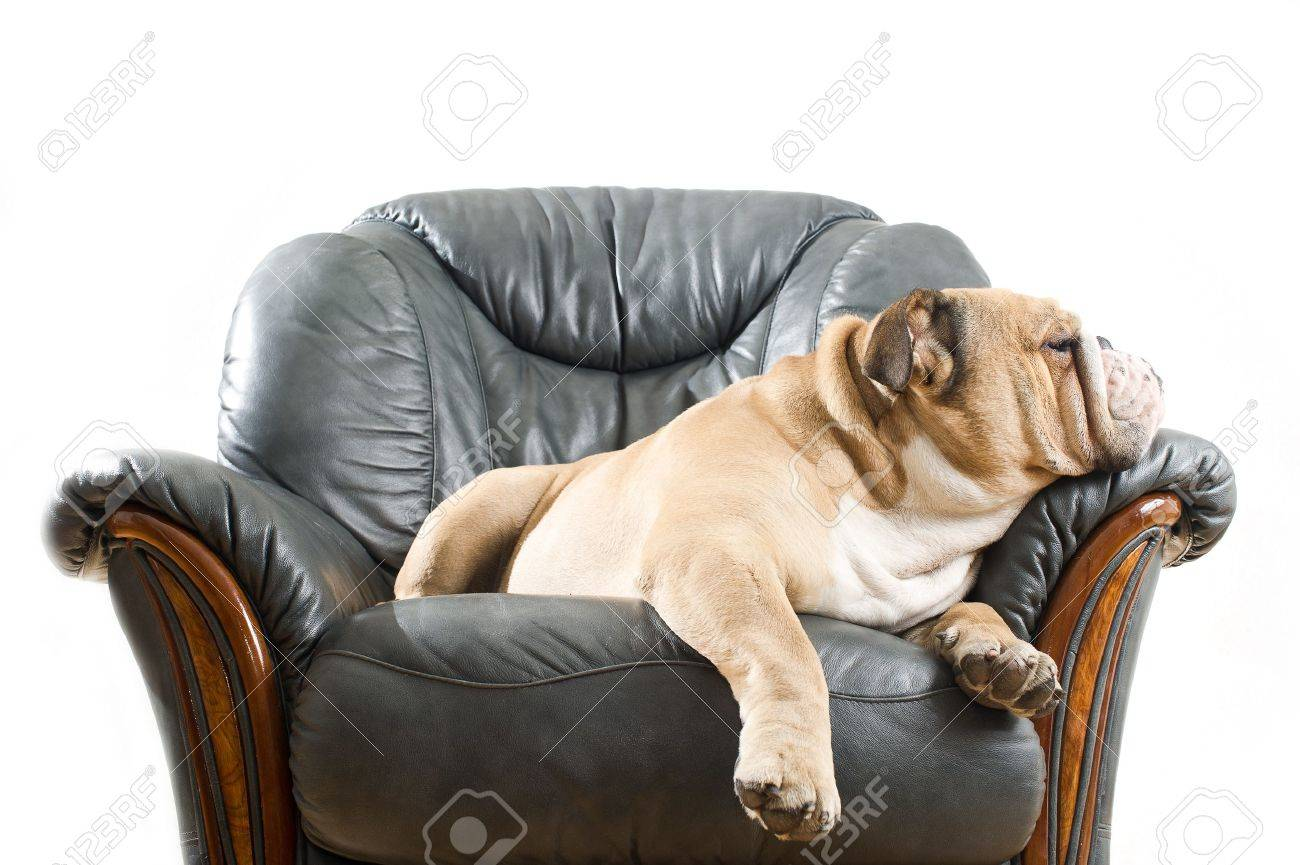 Happy lazy dog English Bulldog on a leather armchair sofa Stock Photo - 12899864