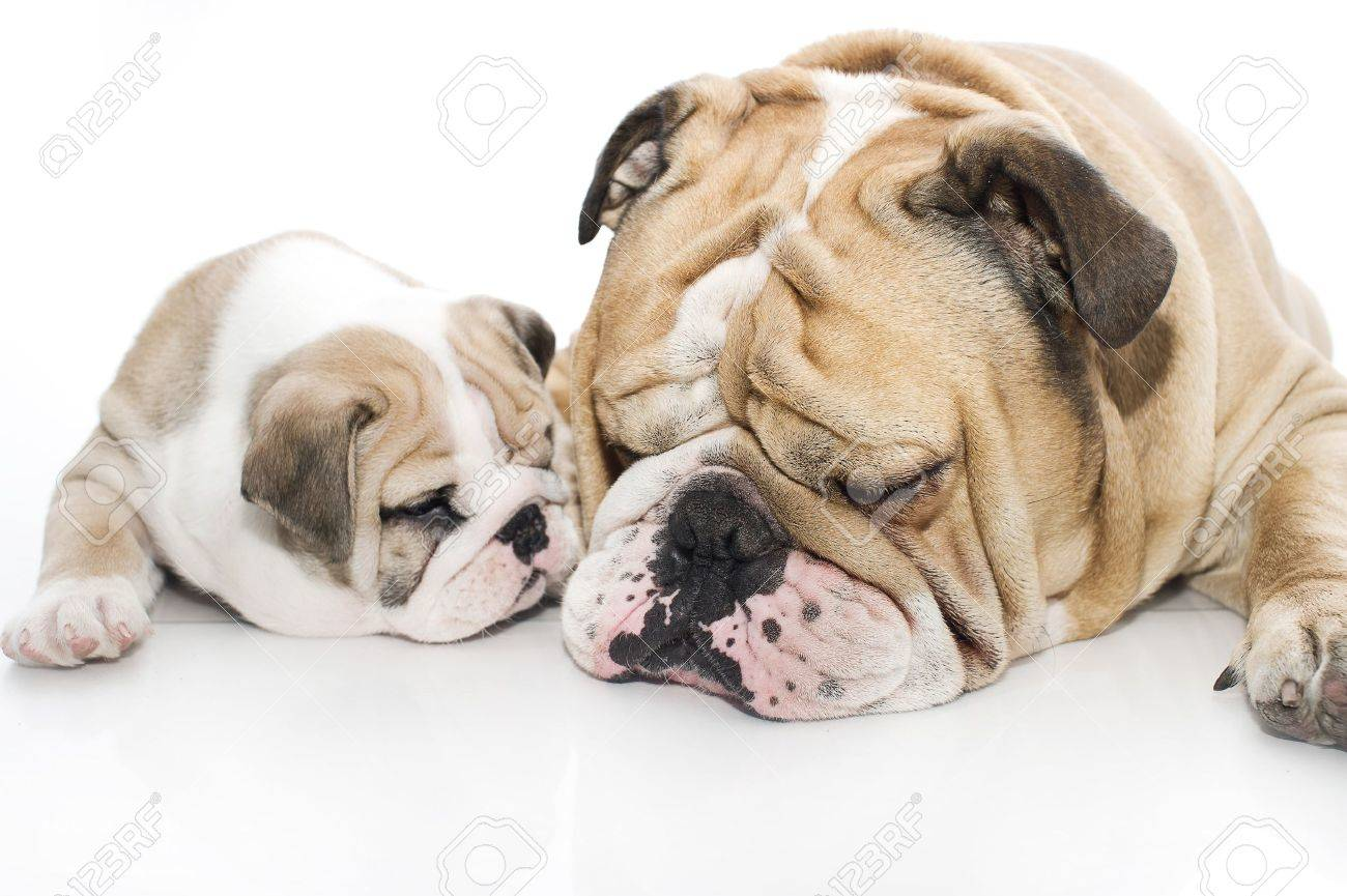 Beautiful english bulldog puppy with its father isolated Stock Photo - 13198229