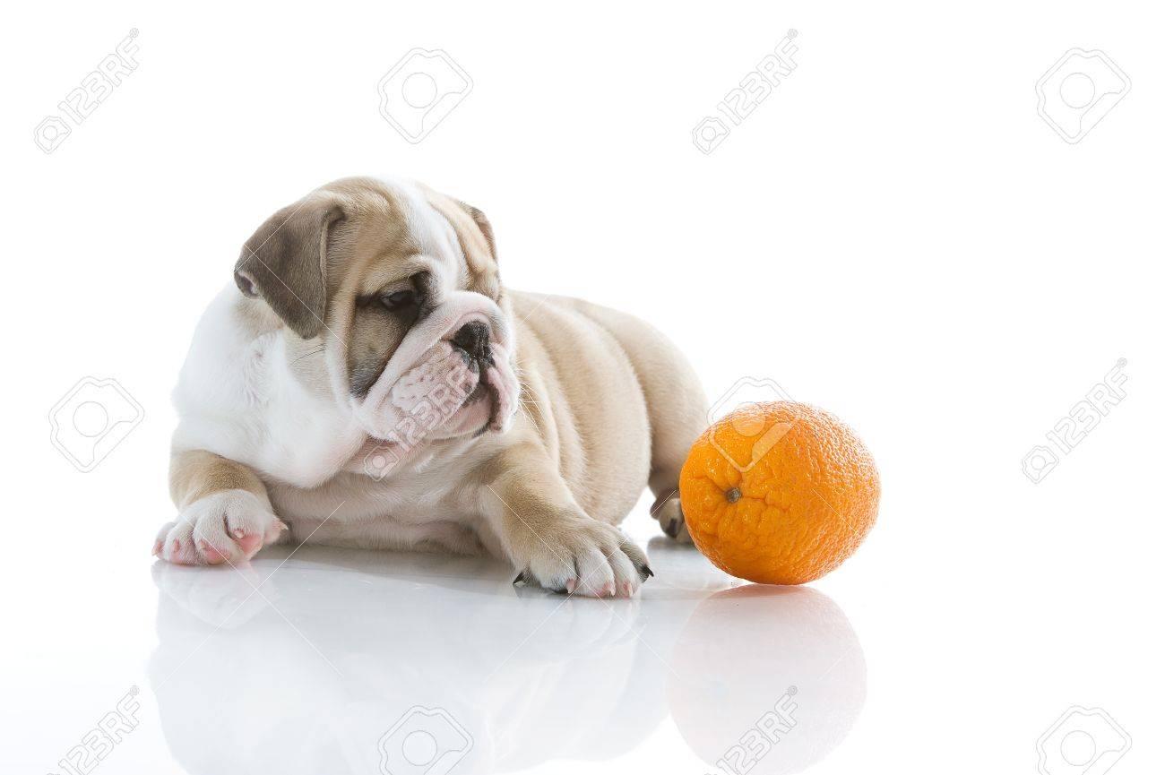 Beautiful English bulldog puppy with orange isolated - 13324217