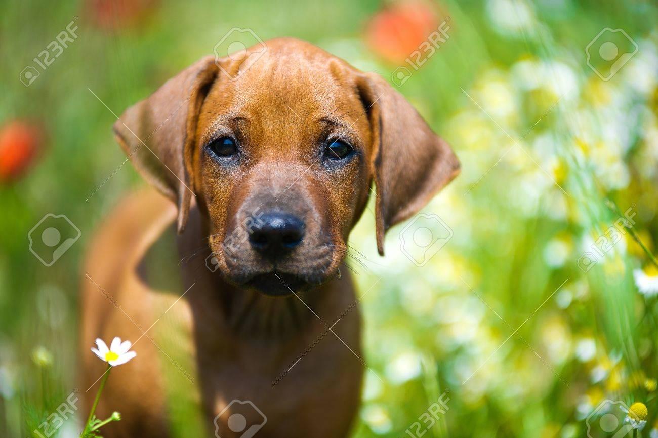 Cute rhodesian ridgeback puppy in a field - 14163055