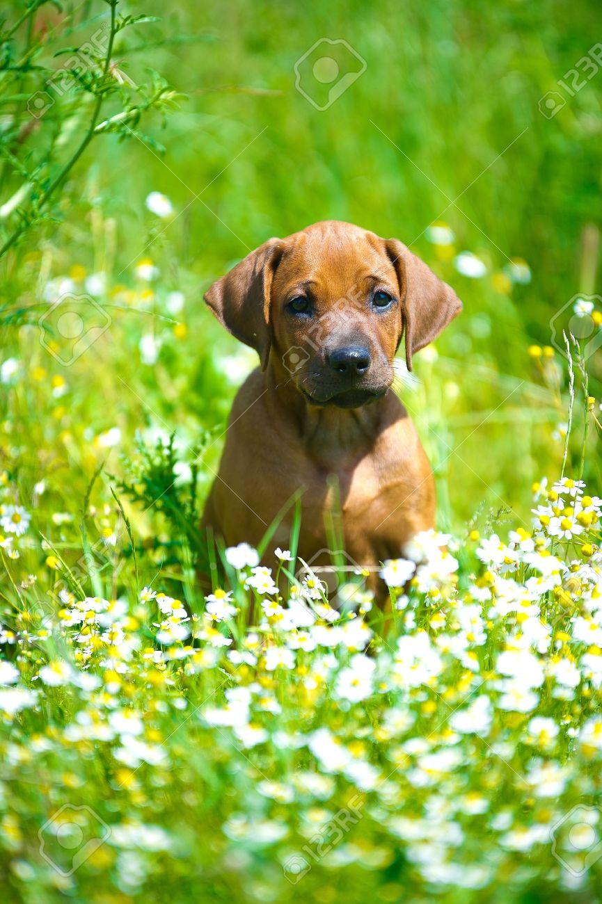 Cute rhodesian ridgeback puppy in a field - 14163063
