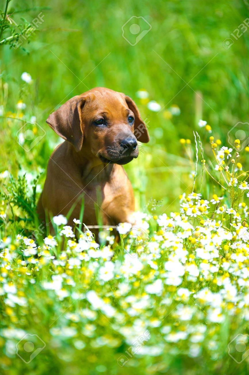 Cute rhodesian ridgeback puppy in a field - 14163007