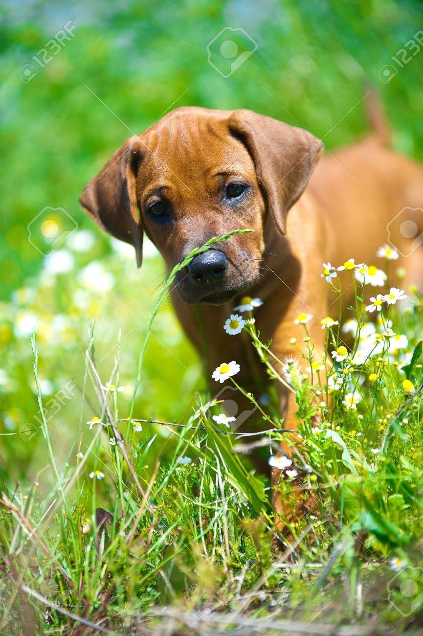 Cute rhodesian ridgeback puppy in a field - 14163082