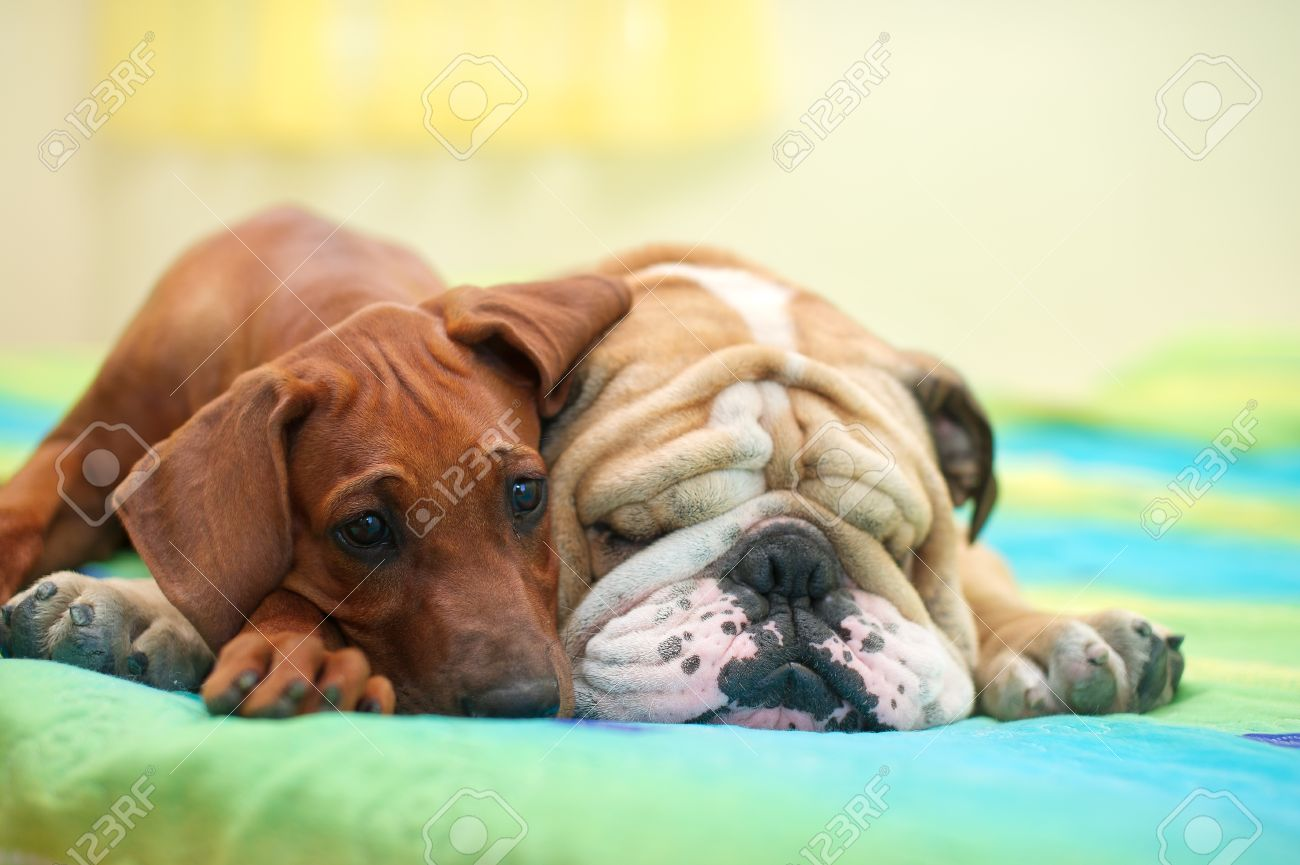 Rhodesian ridgeback puppy and english bulldog best dog friends relaxing on a bed Stock Photo - 15971404